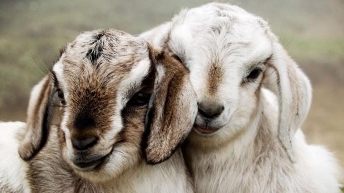 Изображение - Бизнес-план по разведению овец %D0%BE%D0%B2%D0%B5%D1%86%D0%B5%D0%B2%D0%BE%D0%B4%D1%81%D1%82%D0%B2%D0%BE-700x393