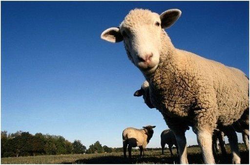 Изображение - Бизнес-план по разведению овец %D1%80%D0%B0%D0%B7%D0%B2%D0%B5%D0%B4%D0%B5%D0%BD%D0%B8%D0%B5-%D0%BE%D0%B2%D0%B5%D1%86