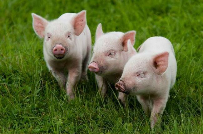 свиноводство как бизнес4