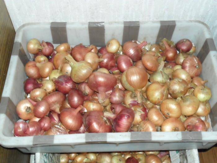 Изображение - Выращивание лука как бизнес vyrashhivanie-luka-kak-bisnes-3-700x525