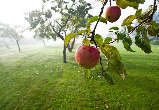 Изображение - Бизнес на яблоках virashivanie-yablok-kak-bisnes-1