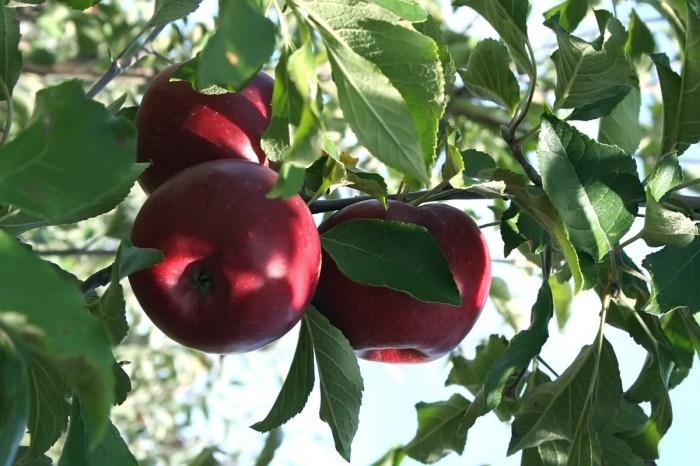 Изображение - Бизнес на яблоках virashivanie-yablok-kak-bisnes-2-700x466